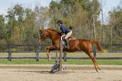Warmbood mostrando equestre que salta - lado Fotos de Stock Royalty Free