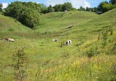 Warme, de zomerdag in een weide die sappig, groen gras eten verscheidene koeien Royalty-vrije Stock Afbeeldingen