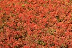 Warme gekleurde gefiltreerde bosbessenstruiken Royalty-vrije Stock Afbeeldingen