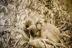 Warme umarmende Affen auf Treetop Affefamilie umarmt jedes O Stockfoto
