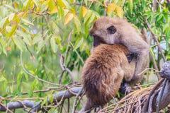 Warme umarmende Affen auf Treetop Affefamilie umarmt jedes O Lizenzfreie Stockfotos