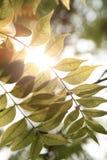 Warmer Sonnenschein mit grünem Blatt Stockfotografie