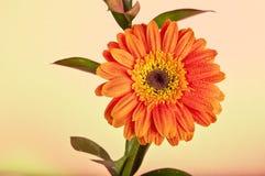 Warmes freundliches Gänseblümchen Stockbild