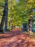 Warmes Gl?ttungssonnenlicht des Herbstes auf B?umen einer der Allee O f Buche in den S?dabstiegen Nationalpark, Gro?britannien stockfotografie