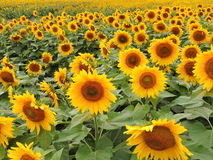 Warmes goldenes Sonnenblumenfeld lizenzfreie stockfotografie