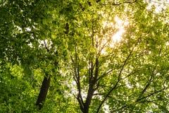 Warmes Sonnenlicht durch grüne Baum-Überdachung lässt Natur draußen P Stockfotografie