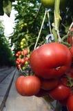 Warmhouse томатов стоковое фото
