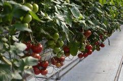 Warmhouse томатов стоковые фотографии rf