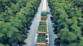 Eco farming concept. A greenhouse worker is going along the passway and searching for mature cucumbers to harvest. A warmhouse worker is going along the passway stock video