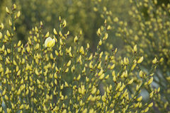 Warminster broom, Cytisus x praecox, blossoming in May Royalty Free Stock Photos