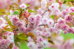 Warmly blooming pink cherry blossoms royalty free stock photos