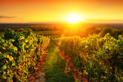 Warmly illuminated vineyard at sunset Stock Image