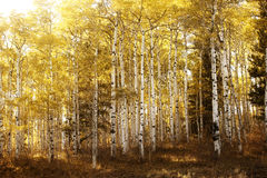 Warmly lit birch or aspen trees Royalty Free Stock Image