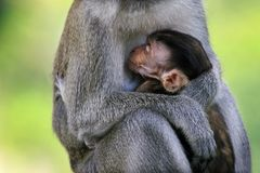 The warmth of love between baby monkey and the mother royalty free stock image