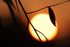 Warmth & risk.Global warming. Silhouetted  tree branch against sunset Royalty Free Stock Image