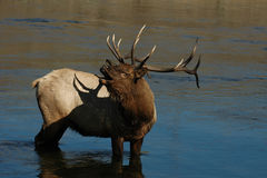 WARNING BUGLE. This male elk stayed in the Madison River in Yellowstone National Park for over four hours guarding his harem Royalty Free Stock Image