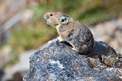 Warning chirp of Pika. A vocal Pika alerting other to danger stock photo