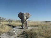 Warning charging elephant Stock Photos