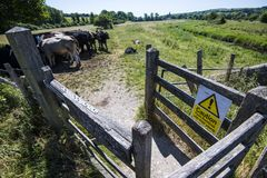 Warning notice: Livestock cattle with young calves stock images