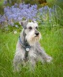 Warnung, balancierter kleiner Hund draußen Lizenzfreie Stockfotos