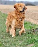 Warnung des goldenen Apportierhunds Stockfotografie