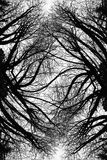 Warped Limbs Art. A warped abstract view of silhouetted trees on a blank sky Stock Photos