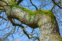 Warped old tree with rough bark and moss Royalty Free Stock Photos