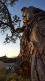 Warped Tree. Old tree on the side of a mountain royalty free stock photography