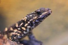Warren girdled lizard. The detail of Warren's girdled lizard Royalty Free Stock Photos