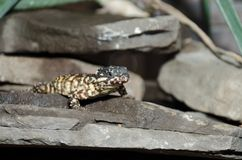 Warren's girdled lizard Stock Images