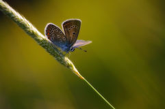 Warrior of light. Silver-studded blue butterfly sitting on the grass in the light of the evening sun Stock Image