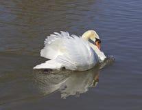 The warrior swan Royalty Free Stock Photo