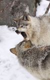 Wars. Two gray wolfs fighting during winter Stock Photography