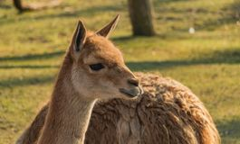 Warsaw Zoo Llama. A picture of a llama on display in the Warsaw Zoo royalty free stock photography