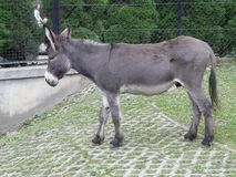 WARSZAWA, POLSKA - osio? w Warszawskim zoo [Equus asinus] zdjęcia royalty free