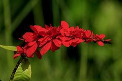 Warszewiczia is a flowering plant in the Rubiaceae family. They are mostly central and South American tropical trees. The most famous of the genus is W stock photo