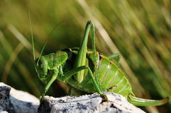 Wart-biter cricket Stock Image