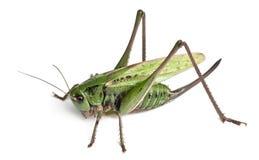 Wart-biter fêmea, um arbusto-críquete, Decticus Imagens de Stock
