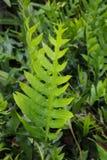 The wart fern of Hawaii Stock Image