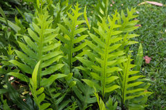 The wart fern of Hawaii Stock Images