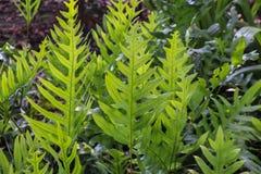 The wart fern of Hawaii Stock Photos