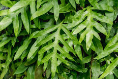 The wart fern of Hawaii. Royalty Free Stock Images