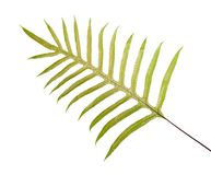 Wart fern leaf, Ornamental foliage, Fern isolated on white background, with clipping path. Wart fern leaf, Ornamental foliage, Fern isolated on white background Stock Photography