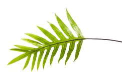 Wart fern leaf, Ornamental foliage, Fern isolated on white background, with clipping path. Wart fern leaf, Ornamental foliage, Fern isolated on white background Royalty Free Stock Image