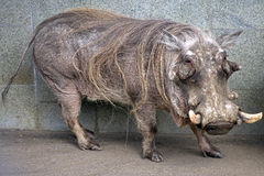 Warthog 1 Royalty Free Stock Photos
