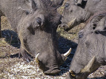 Wart hog Stock Image