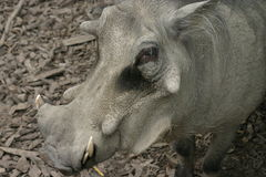 Wart hog. Great Wart hog in a zoo Stock Photography
