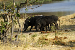 Wart Hog Stockfoto