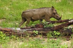 Wart hog in the brush Royalty Free Stock Images