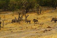 Wart Hog Family Image stock